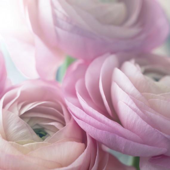 Pink ranunculus background